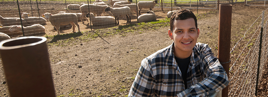 Student interning at UC Davis Sheep Barn