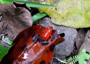 A strawberry poison dart frog in Costa Rica. Photo: Justin Nowakowski/UC Davis