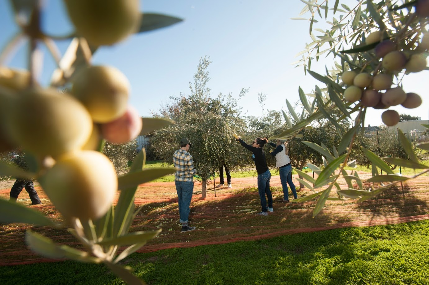 Students harvest olives by hand from young trees in the campus research grove. (Gregory Urquiaga/UC Davis)