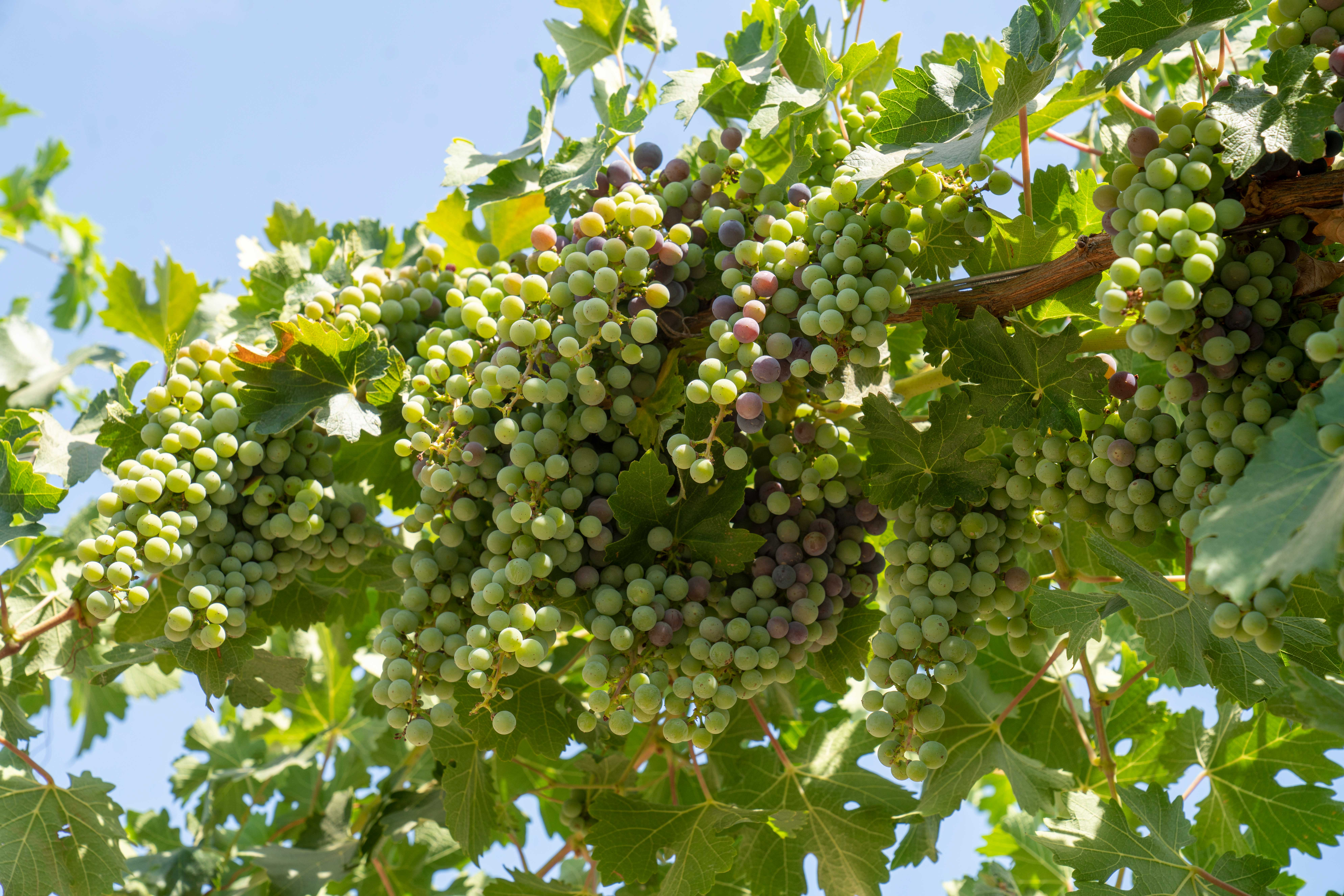 Grape vines elevated two to three feet higher than the traditional wine grape canopy.
