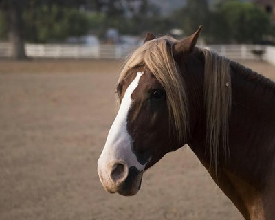 Truffles, the oldest Santa Cruz Island stallion at El Campeon Farms