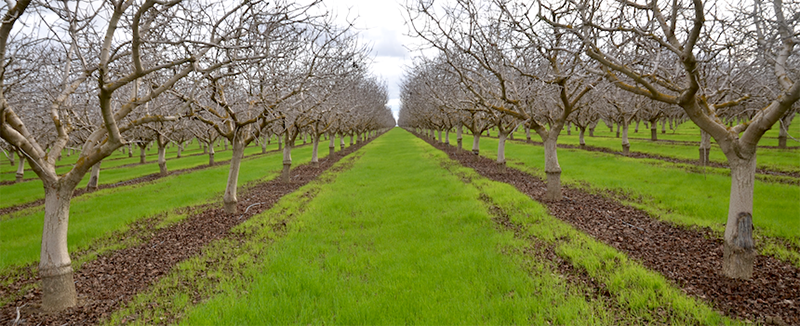 Cover crop in a pistachio orchard. (Sam Sandoval/UC Davis)