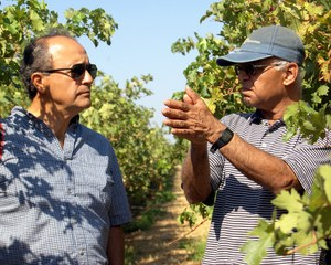 Shrini Upadhyaya (R) and Gallo Winery research scientist Luis Sanchez (L) in a vineyard where a research team is conducting tests with the sensor. (Diane Nelson | UC Davis)