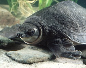 Sea level rise may affect 20 percent of the range of the pig-nosed turtle. (Todd Stailey/Tennessee Aquarium)