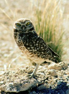 Western Burrowing Owl Photo credit: Wikimedia Commons