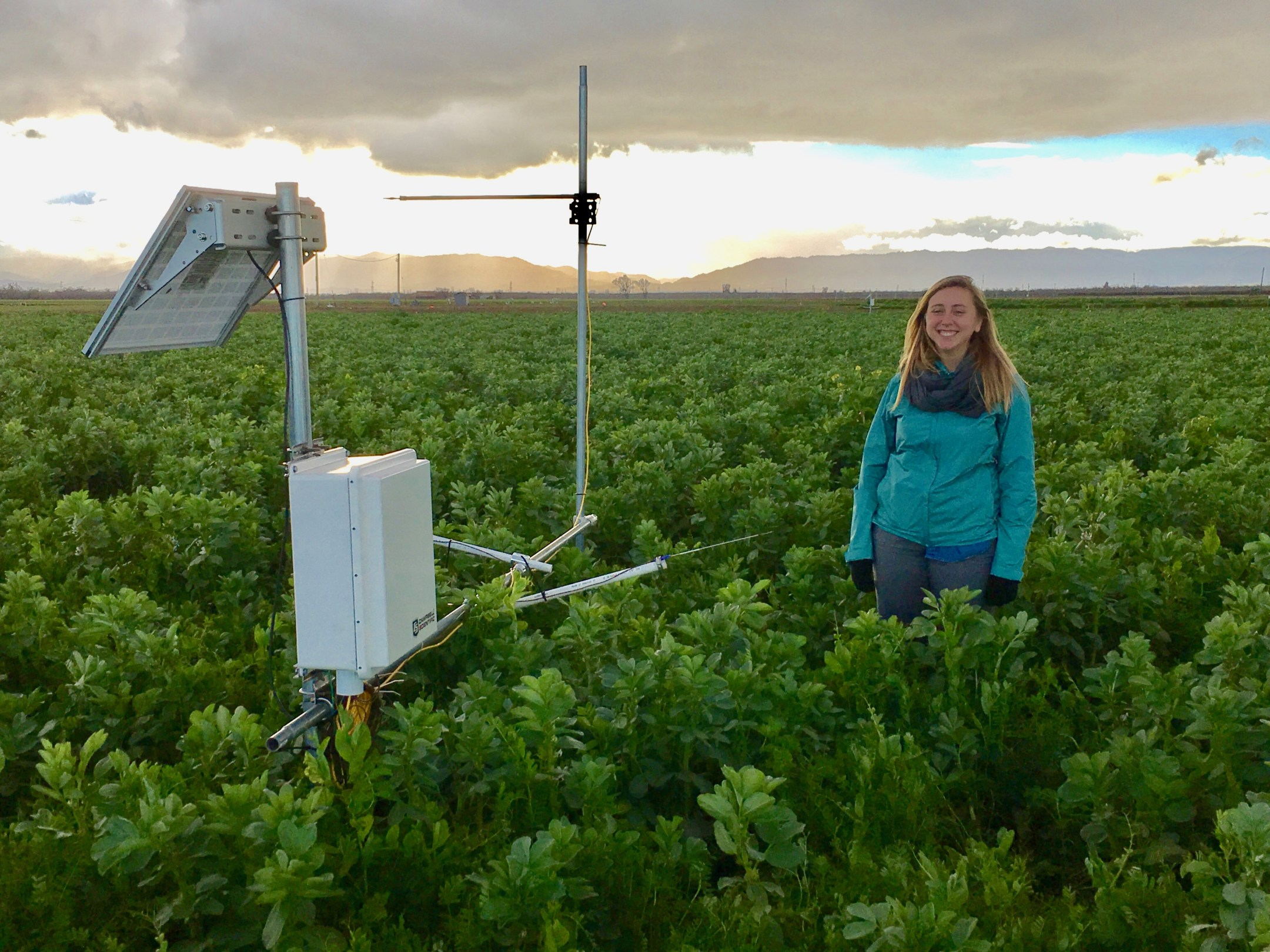 UC Davis Ph.D. student Alyssa DeVincentis stands in a field of cover crops–vetch, bell beans and Austrian peas. (Courtesy Alyssa DeVincentis/UC Davis