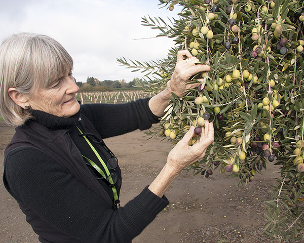 Cooperative Extension specialist Louise Ferguson is helping industry find ways to mechanize the harvest of table olives. (John Stumbos | UC Davis)