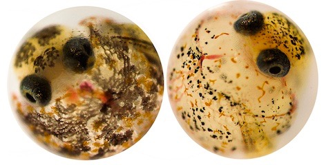 Embryos from resistant (left) and sensitive (right) populations of Gulf killifish dosed at the same concentration of industrial contaminants. Resistant population embryo develops a normal, two chambered, heart with proper blood flow, while sensitive embryo develops a string heart with no blood flow. Right embryo is unlikely to survive to hatch. (Elias Oziolor/UC Davis)