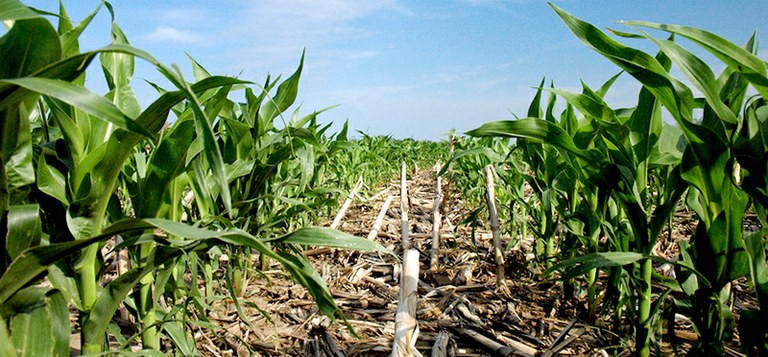 "A ""no-till"" corn field. Study shows a key conservation agriculture strategy will not bring a hoped-for boost in crop yields in much of the world. (Credit: NRCS Soil Health)"