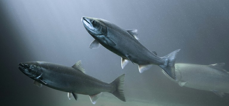 Salmon and other native fishes in California may become extinct within the next century. (Credit: Thinkstock)