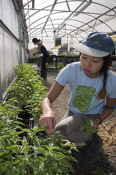 Environmental science and management student Alexis Fujii harvests basil in a greenhouse at the Student Farm. (Photo: John Stumbos)