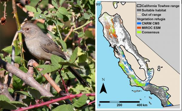 Vegetation refugia maps can be used for wildlife conservation planning. For example, the study overlays the range of the California towhee, at left, with the refugia map to show suitable areas for the bird as the climate changes. (Photo by Andrew Engilis/UC Davis; map UC Davis)