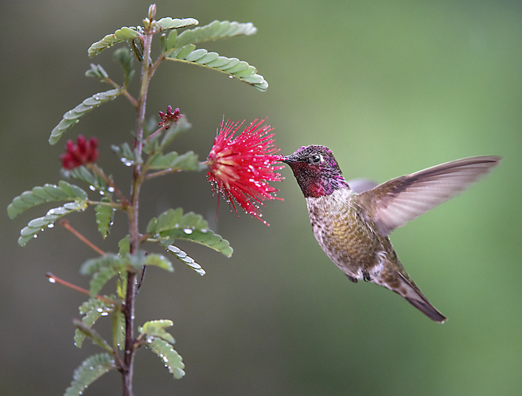 The UC Davis study found that floral nectar contained mostly bacteria found only in flowers while feeder sugar water contained generalist bacteria that grow in many types of aqueous environments. Pictured, an Anna's hummingbirds feeds on floral nectar. (Scott Logan/Wild Wings Ecology)