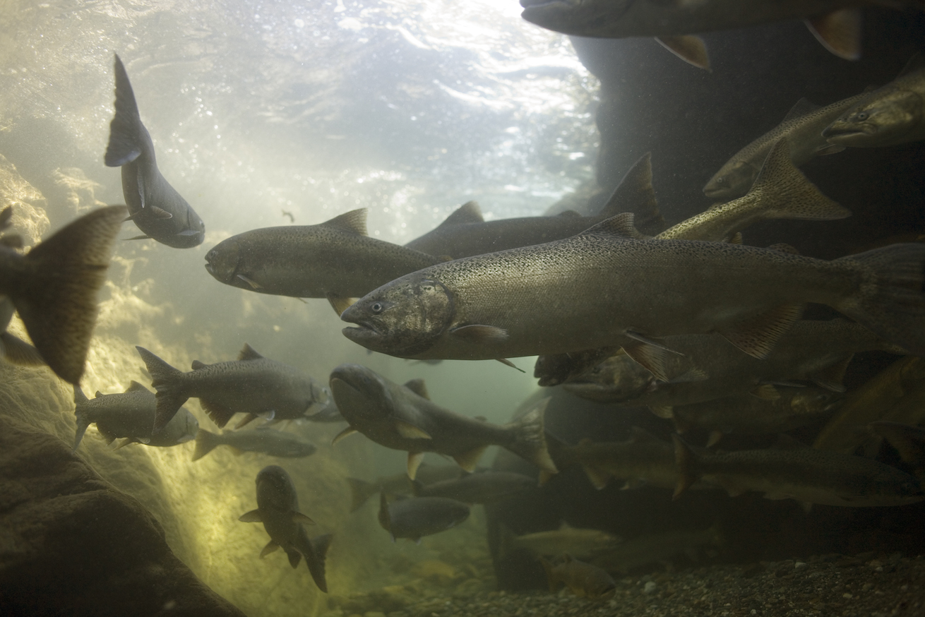 Spring-run chinook look and behave differently from fall-run chinook salmon. These are adults in California's Salmon River. (Michael Bravo)