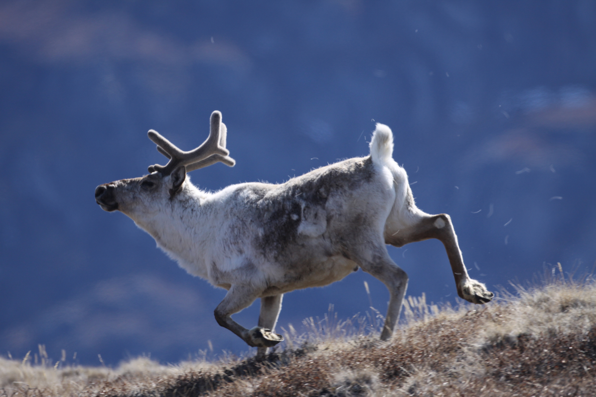 Caribou are among the herbivores that graze on arctic shrubs. (Eric Post, UC Davis)