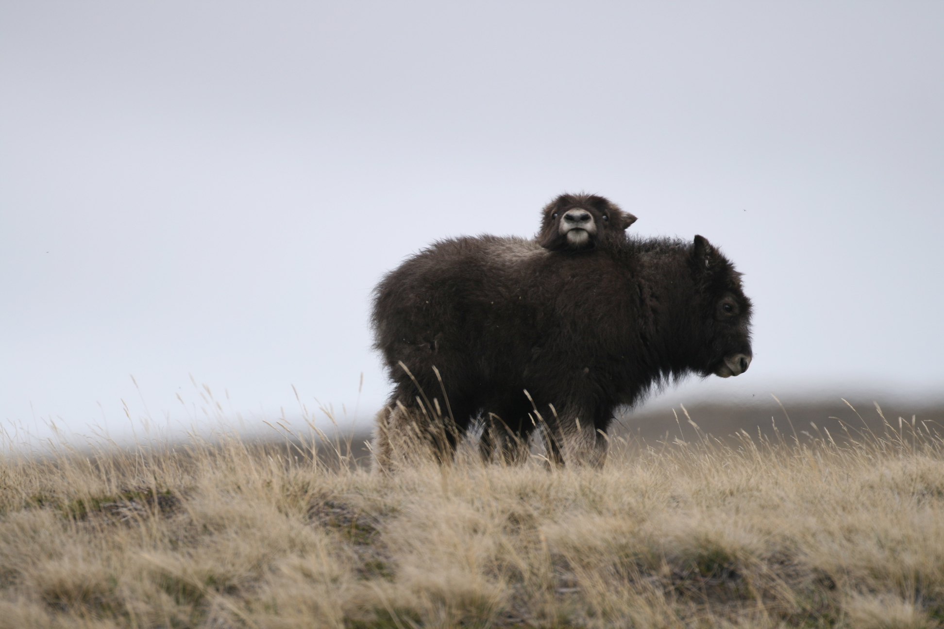 Baby muskoxen in Greenland. (Eric Post, UC Davis)