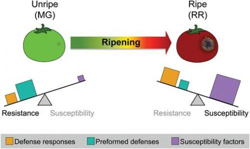 A model illustrating how the balancing-act of components driving disease resistance and disease susceptibility changes during the ripening process of tomatoes.