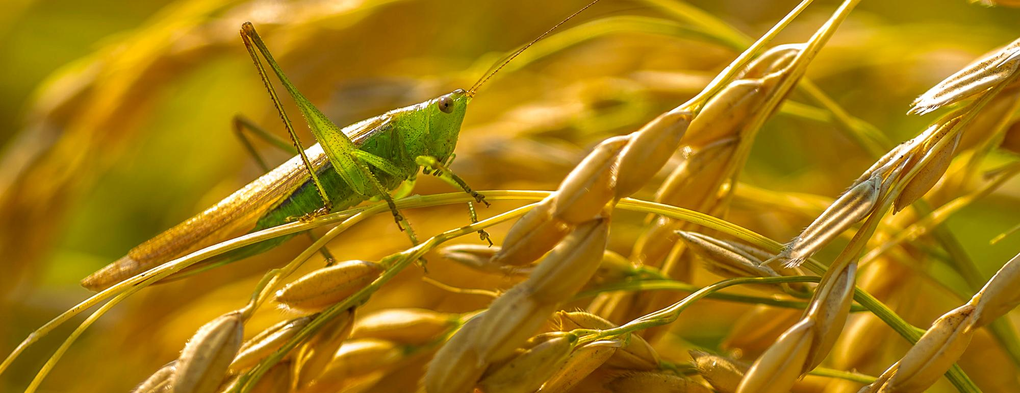 A grasshopper stands on rice that has not been harvested at the Tibbitts farm on Tuesday, September 29, 2020.