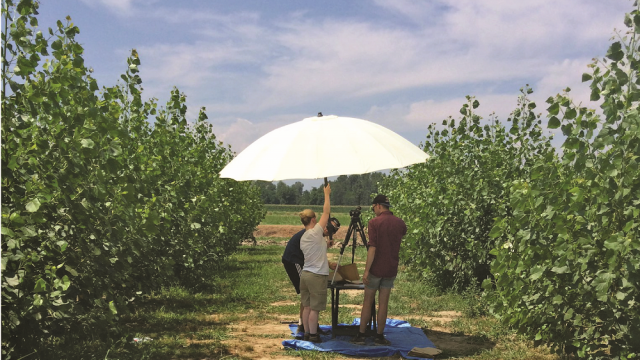 Measuring leaf size as an indicator of crop vigor and drought tolerance in a bioenergy poplar plantation. (photo Gail Taylor lab)