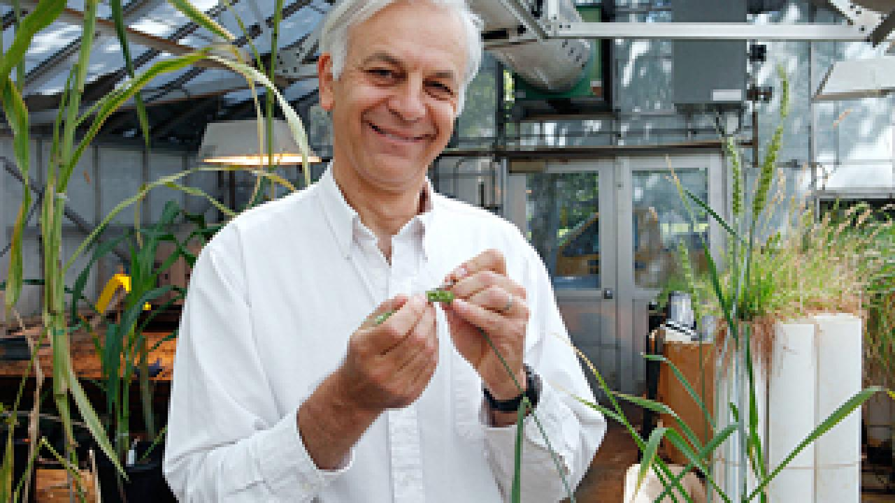 Jorge Dubcovsky's efforts to identify important wheat genes has led to hardier, more nutritious wheat varieties. (Steve Yeater/photo)