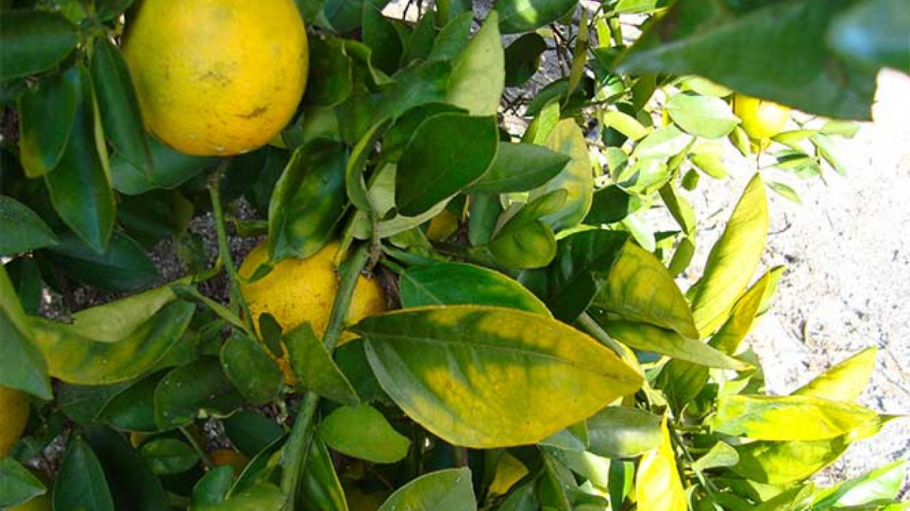 Damage to a citrus tree caused by Asian citrus psyllid. (photo: Calif. Dept. of Food and Agriculture)
