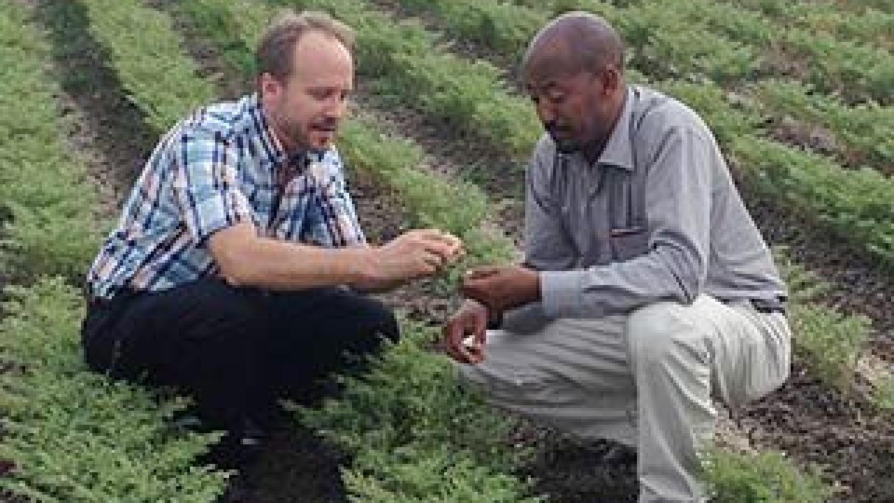 UC Davis researcher Doug Cook and Asnake Fikre of the Ethiopian Institute for Agricultural Research examine a chickpea field in Ethiopia. (photo: courtesy of Doug Cook/UC Davis)