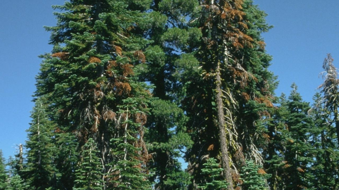 Lassen County fir trees dying from a bark beetle injury and disease. (photo: Jack Kelly Clark, UC IPM Program)