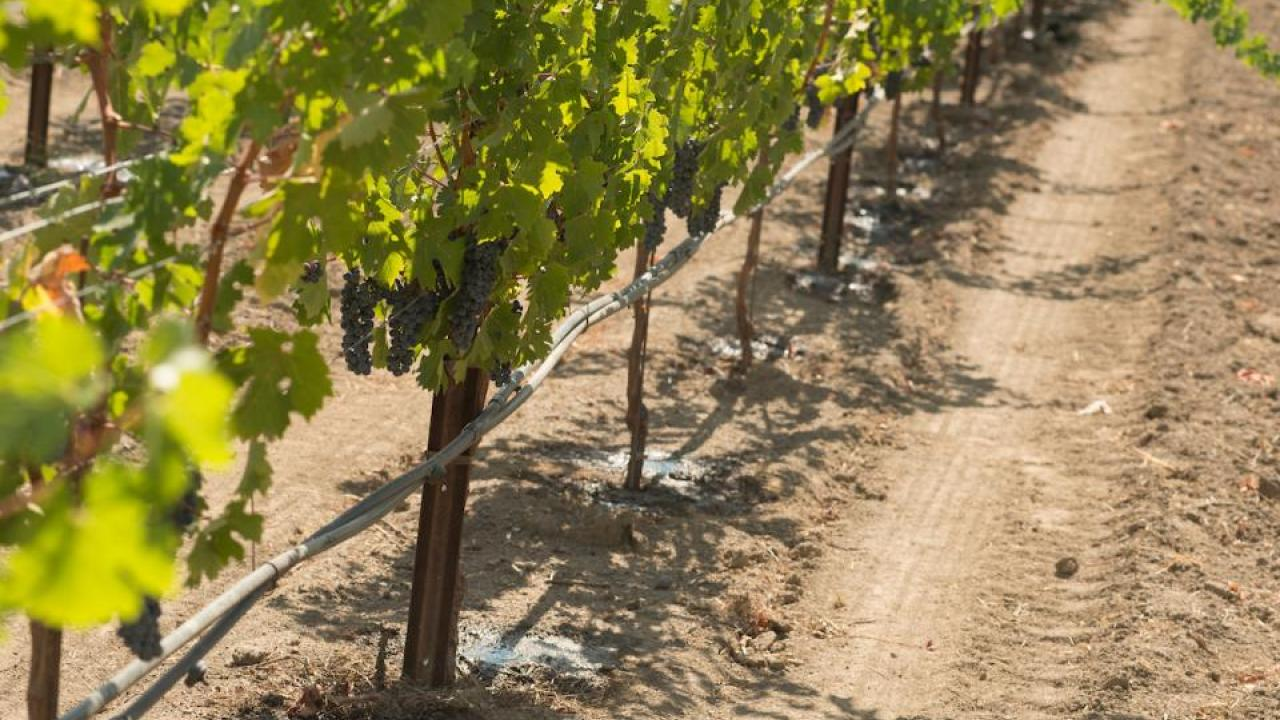 Optimizing use of rainwater stored in soil for five perennial crops, including grapes, could help meet demand. (UC Davis)