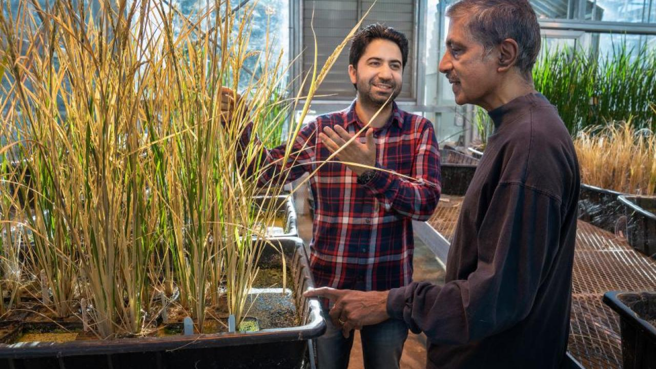 Postdoc Imtiyaz Khanday and Professor Venkatesan Sundaresan with cloned rice plants in a UC Davis greenhouse, December 2018. Khanday, Sundaresan and colleagues have solved the problem of propagating cloned, hybrid plants from seed — a long-sought discovery with big implications for global agriculture. It could make it easier for the world's poorest farmers to grow high-yielding, disease-resistant or climate-tolerant crops and save their seeds for future use. (Karin Higgins/UC Davis)