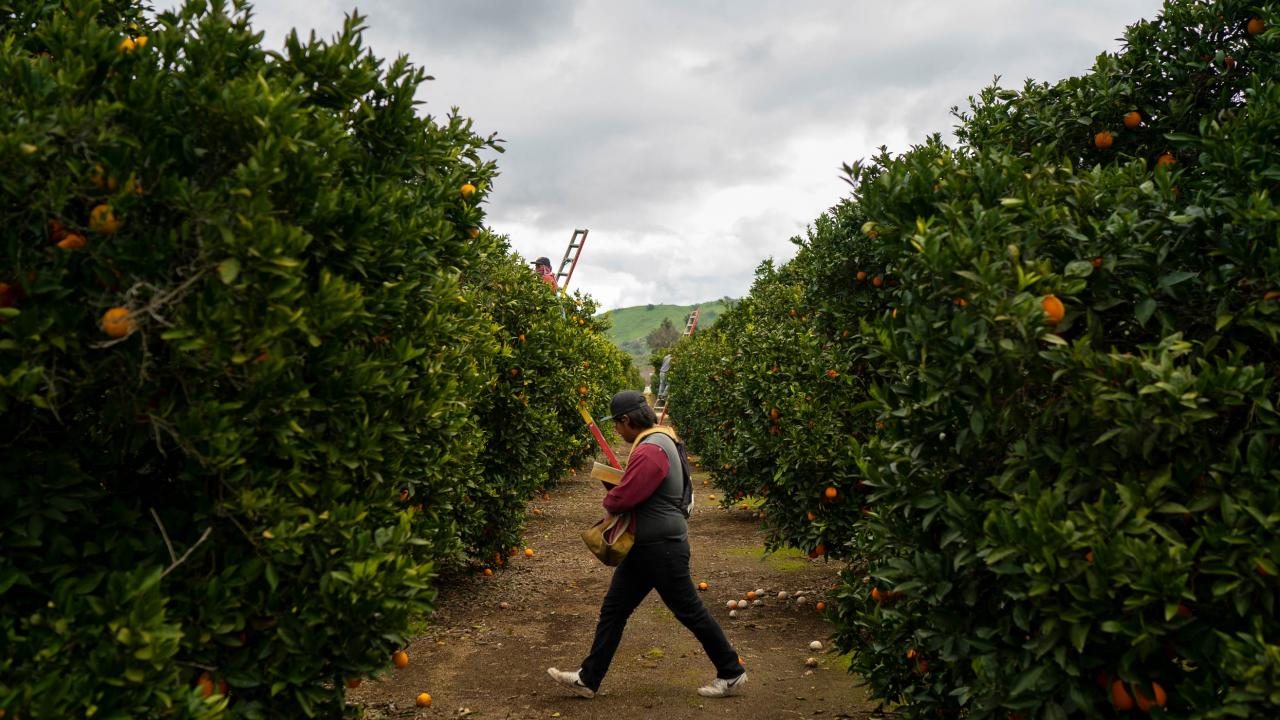 Workers rush to harvest oranges after a light rain in Exeter, California, just west of the Sierra Nevada mountains in California's Central Valley. (Joe Proudman/UC Davis)