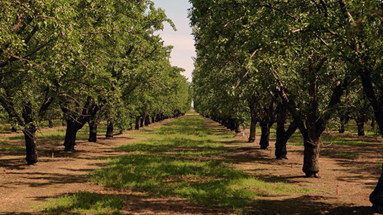 Almond growers are innovative in their water savings. This orchard uses micro-irrigation, which efficiently directs water. (Photo courtesy of the Almond Board via USDA.gov)