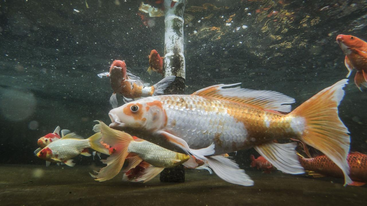 Koi fish swimming in a tank at the UC Davis Center for Aquatic Biology and Aquaculture.