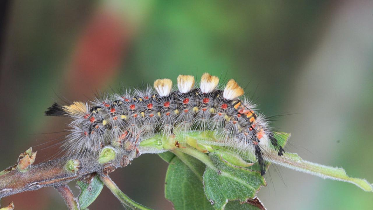 A western tussock moth caterpillar crawls along a plant, feasting on its leaves. Credit: Moria Robinson/UC Davis
