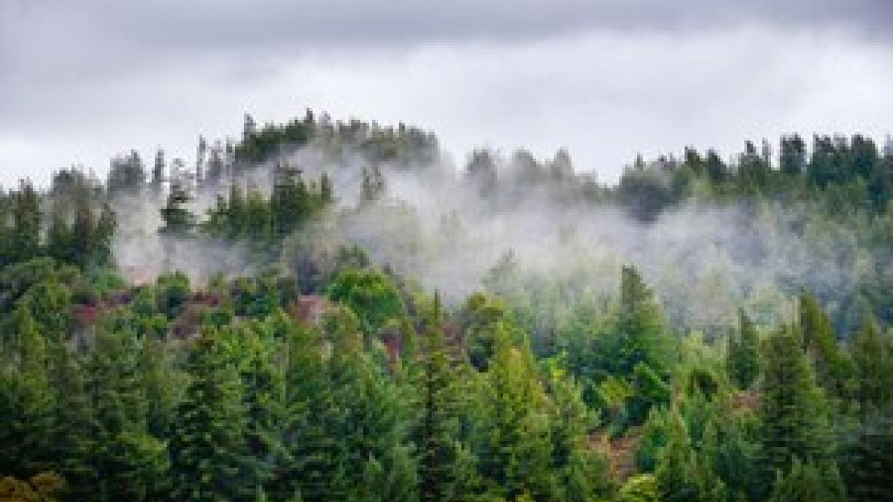 Fog rolls over the treetops of a forest of Douglas fir and redwood trees near the Eel River. Photo: Gary Kavanagh/Getty Images