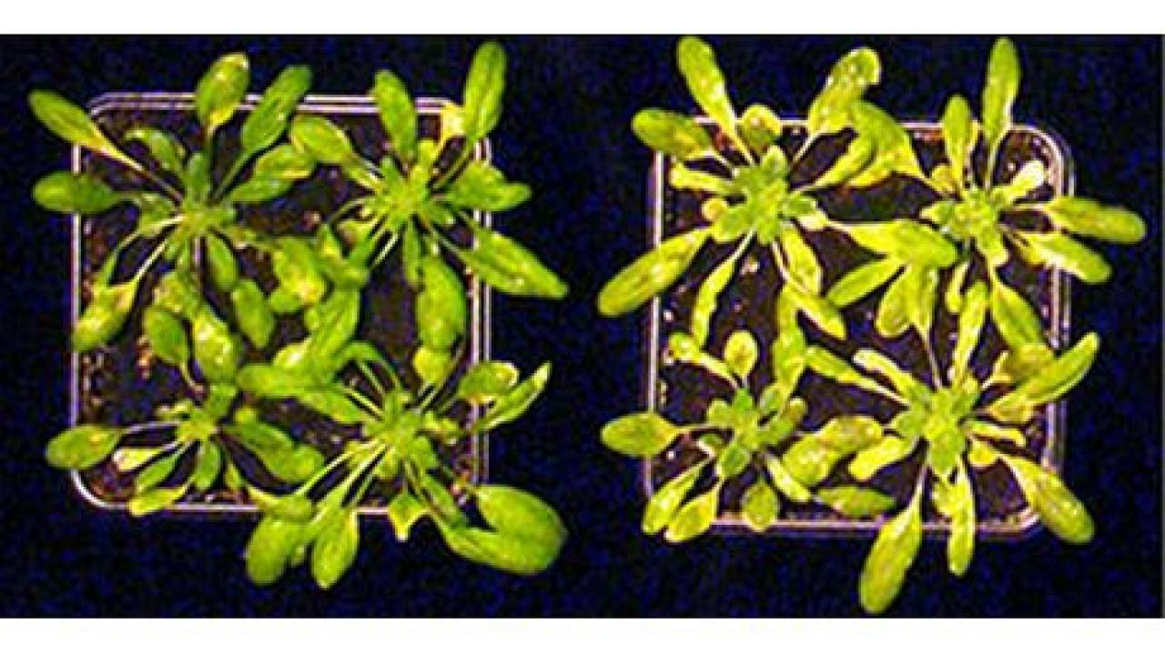 A mutant Arabidopsis plant (right), with compromised immunity, is lighter green than a typical Arabidopsis plant at left. (photo: Benjamin Schwessinger/UC Davis)