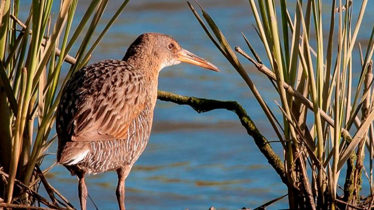 A California Clapper Rail stands beside invasive spartina, a salt marsh cordgrass, at Garretson Point in San Francisco Bay. The endangered bird is threatened by both the removal and existence of the invasive plant. (photo: Robert Clark)