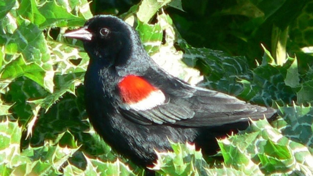 Tricolored Blackbird.