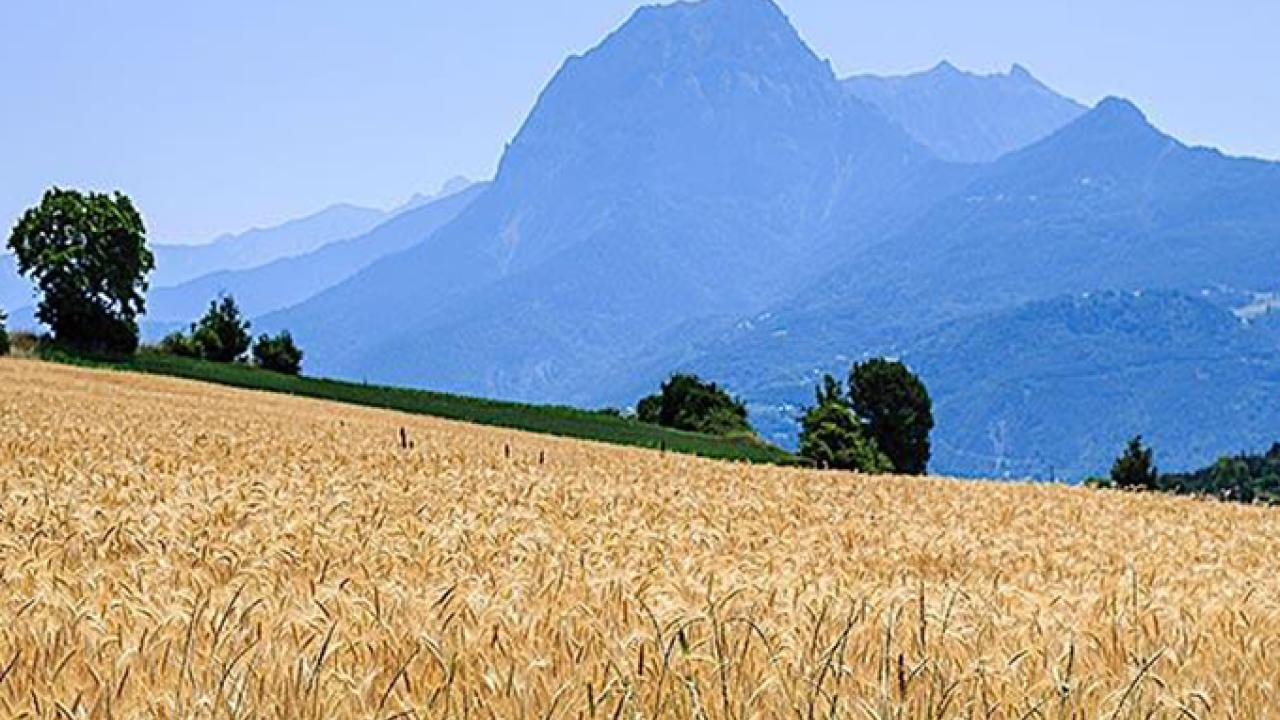 A wheat field in Provence, France, is almost ready for harvest. (republica/getty images photo)