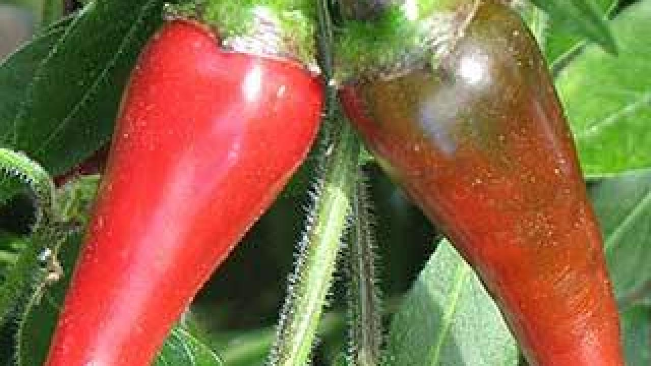 Scientists have identified a promising candidate gene that encodes resistance to a root rot disease that severely diminishes chili pepper crop yields. (UC Davis photo)