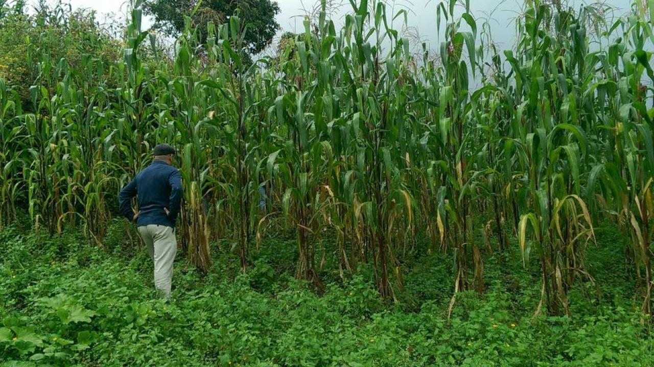 indigenous mexican variety of corn captures the nitrogen it needs