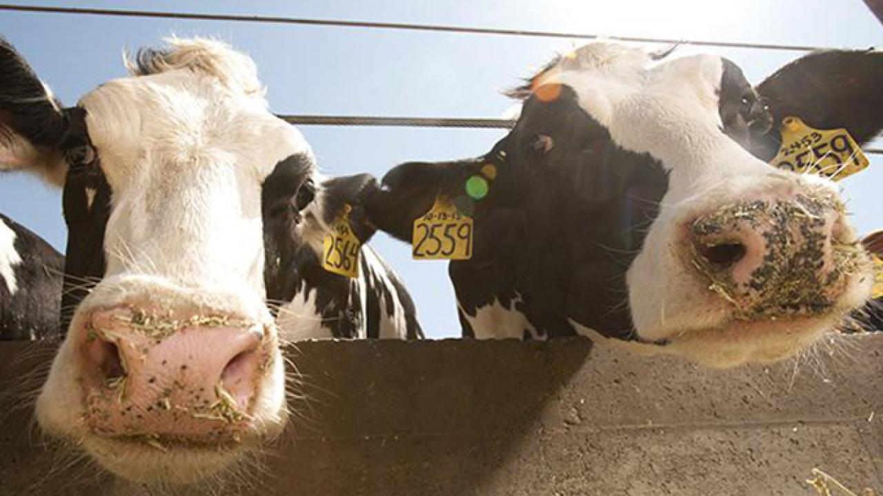 Two Holstein cows at the Dairy Barn at UC Davis. (Greg Urquiaga/UC Davis)