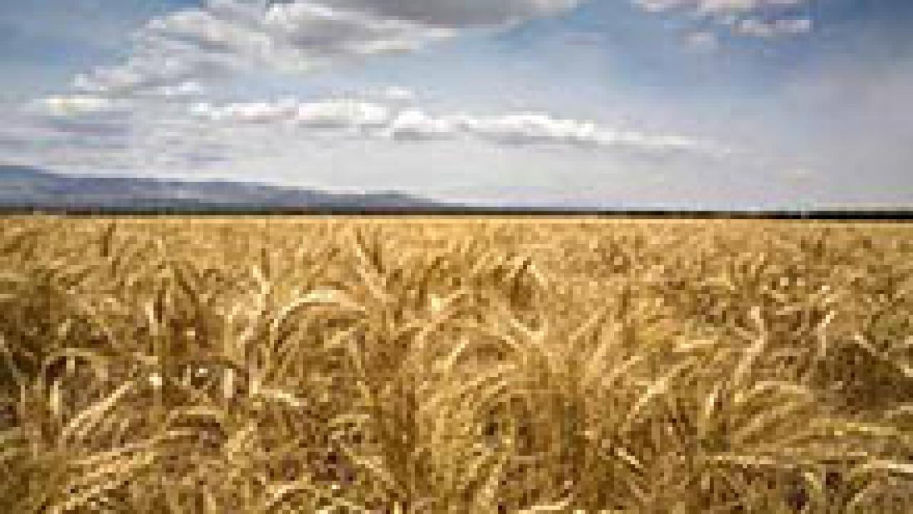 The project will sequence the genome of a wild wheat relative responsible for the bread-making quality found in wheat.