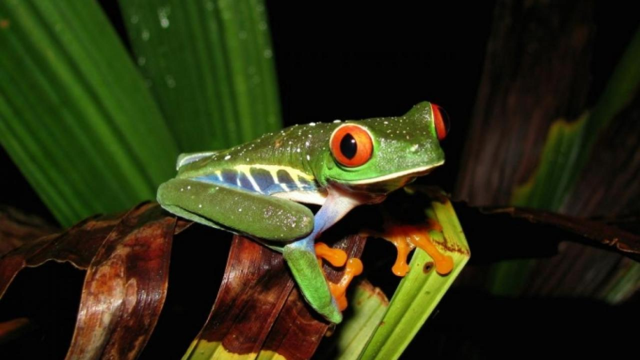 A UC Davis study found that frogs that tolerate higher temperatures, like this red-eyed tree frog in Costa Rica, are likely to fare better in a warming, changing world. Photo: Justin Nowakowski/UC Davis