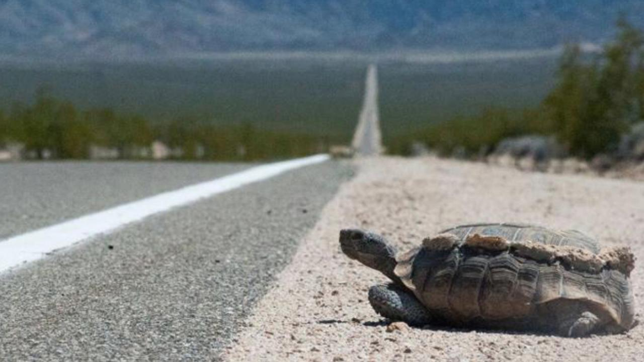 A desert tortoise attempts to cross the road in southern California. (J. Mark Peaden/UC Davis)