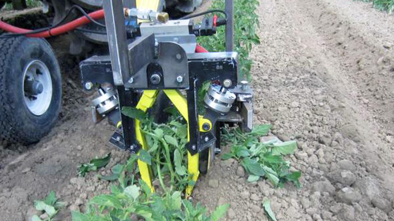 Robotic cultivators are engineered to uproot weeds in row crops such as these tomatoes. (Courtesy: David C. Slaughter | Biological and Ag. Engineering | UC Davis)