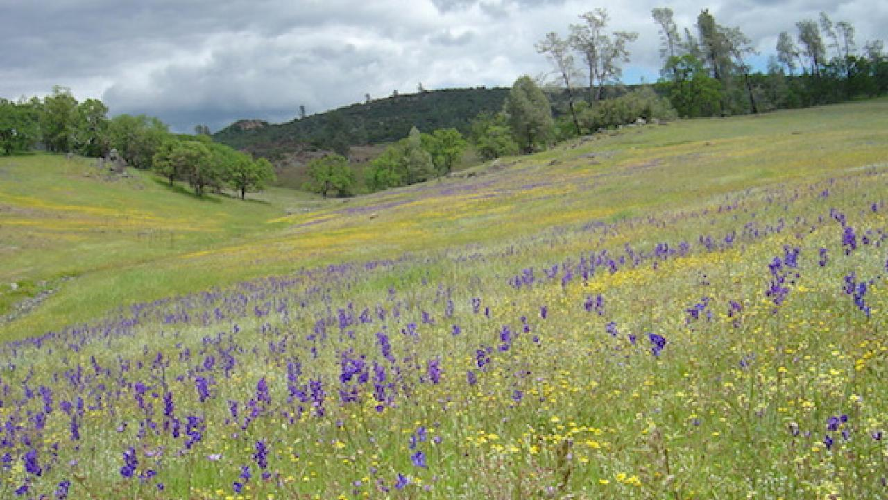 Drought and climate changes are reducing the diversity of California's grassland wildflowers. (Catherine E. Koehler | UC McLaughlin Reserve)