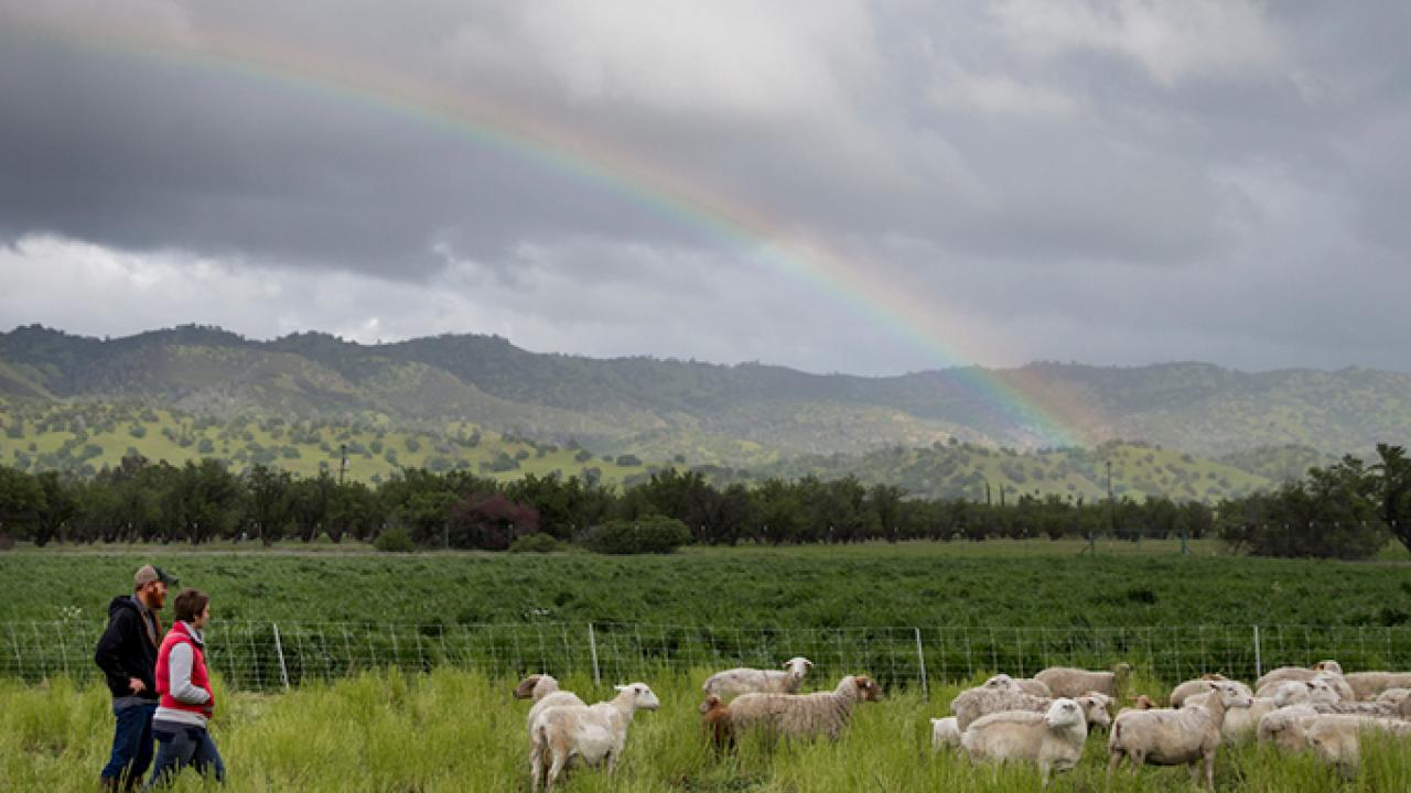 Sheep from Skyelark Ranch graze a field planted with a cover crop in Brooks, California. (Joe Proudman/UC Davis)