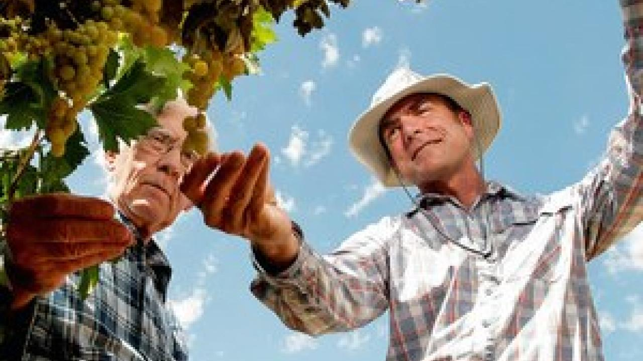 Cooperative Extension specialist Matthew Fidelibus (right) talks with grower Ron Brase about his grapes in Fresno, California. Brase has 40 acres of Selma Pete grapes that will become raisins. (Photo: UC Davis)