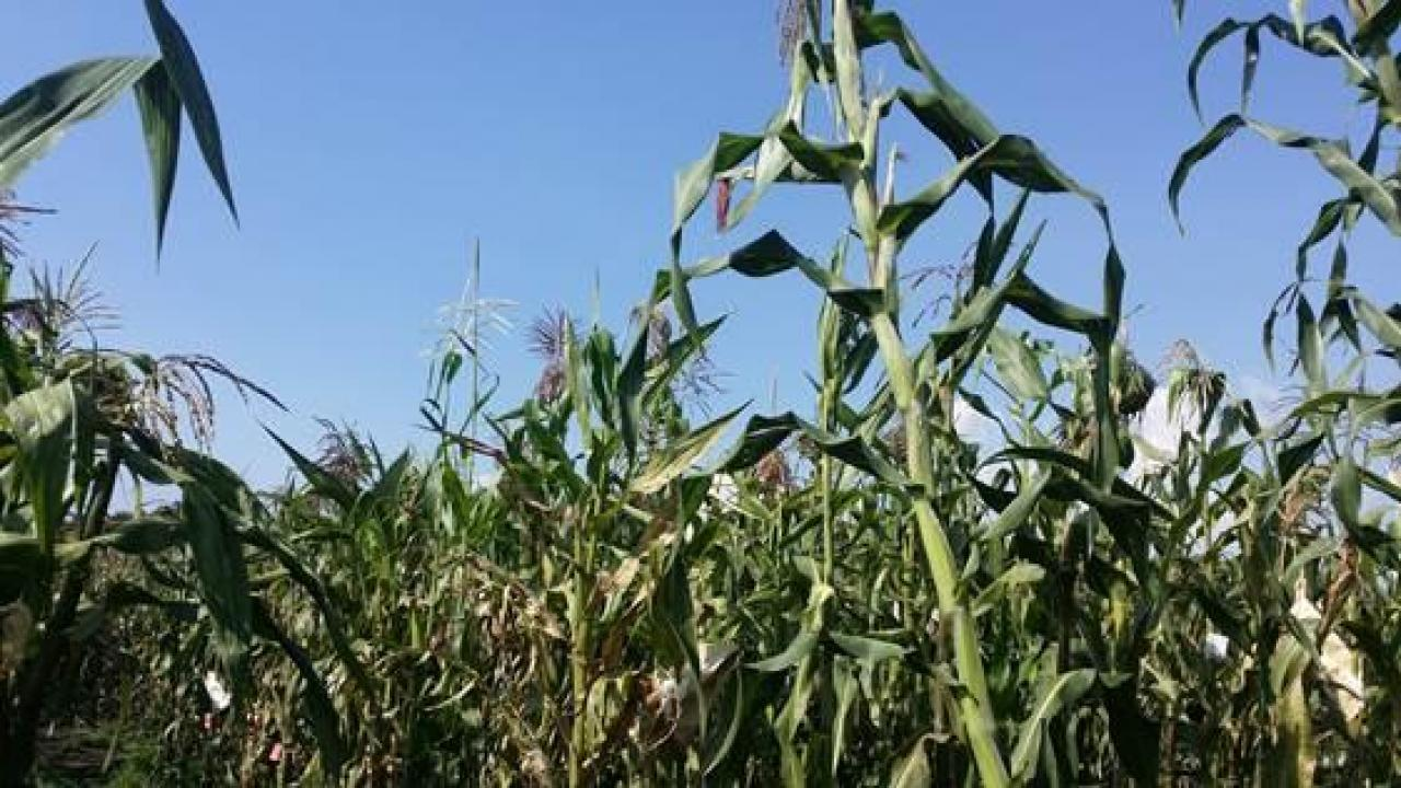 Maize growing at a highland field site in Toluca, Mexico. UC Davis researchers are studying how maize adapted to different environments. The new knowledge could aid in breeding crops resistant to climate change. Photo: Rocio Aguilar