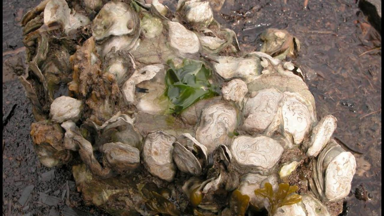 A boulder of native oysters near Tomales Bay, California (UC Davis)